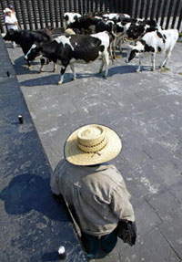 A Mexican farmer and his cows protest NAFTA
