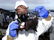 The ecological consequences of the Prestige oil spill