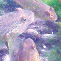 Round gobies swim in Lake Erie