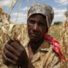 African agriculture and globalization