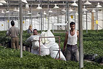 Palestinian men work at the greenhouse in the Netzer Hazani settlement at Gush Katif